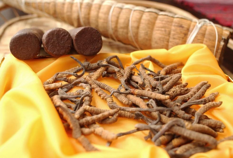 Tibet La Chine décide que le précieux cordyceps tibétain - champignon / chenille tibétain - est ...